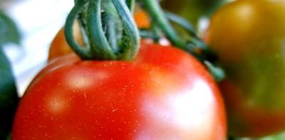 【低カロリー】トマトの栄養と効果!食べ過ぎると肌が黄色くなる?